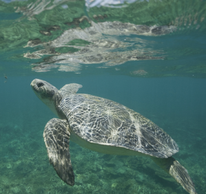 We helped protect endangered flatback turtles through our work with Queensland Trust for Nature.